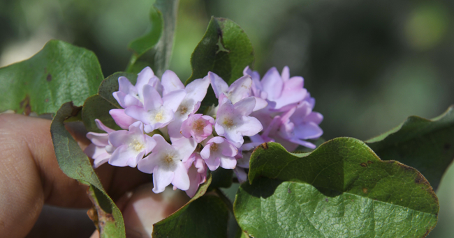 Growing with plants: MAYFLOWERS, AND THE TRAILING ARBUTUS ...