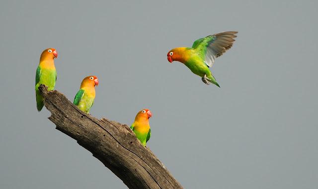 Varietas yang berbeda dari Lovebird Afrika