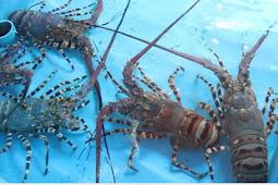 Cara budidaya lobster air tawar dengan mudah