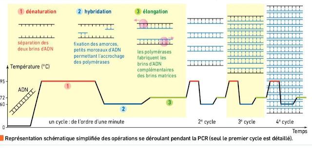 """تحميل درس """"la réplication de l'ADN et variabilité génétique"""" بحلة جديدة وفق برنامج 2019 باللغة الفرنسية"""
