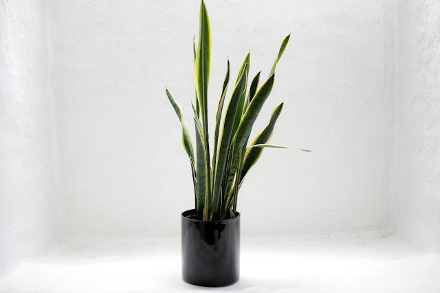 snake plant image
