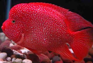 Ikan Louhan Super Red Texas (SRT)