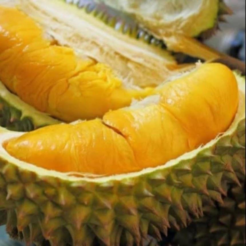 Murah bibit tanaman buah durian monthong Thailand super Papua