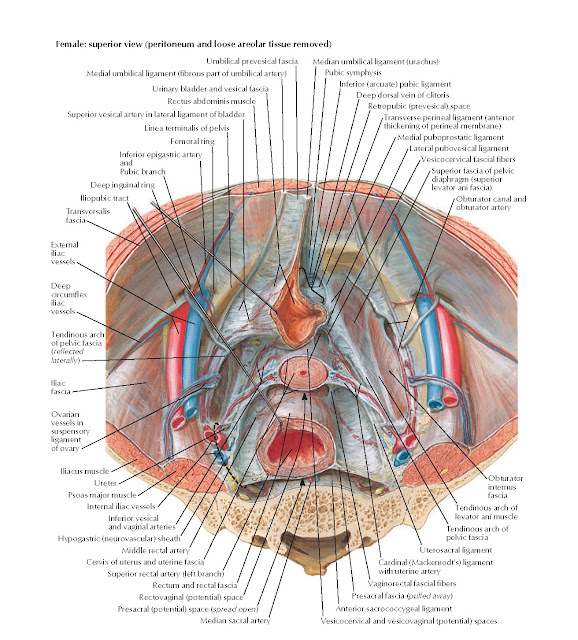 Endopelvic Fascia and Potential Spaces Anatomy