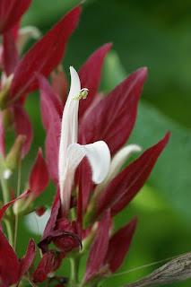 Megaskepasma erythrochlamys - Manteau rouge du Brésil