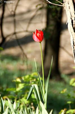La specie rara di Tulipani che cresce nei giardini del Castello Reale di Govone