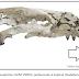 Cientistas revelam fósseis de transição evolutiva ligados à origem das morsas modernas