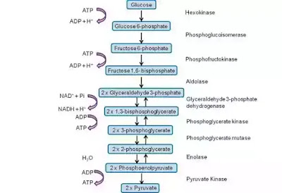 Class 10 glycolysis