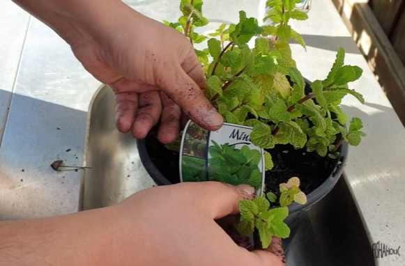 How to grow mint in a pond