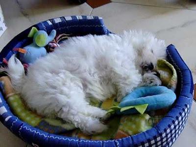 como duermen los bichones malteses