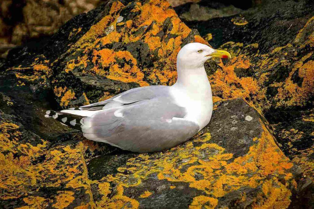 The Herring Gull (Larus argentatus)