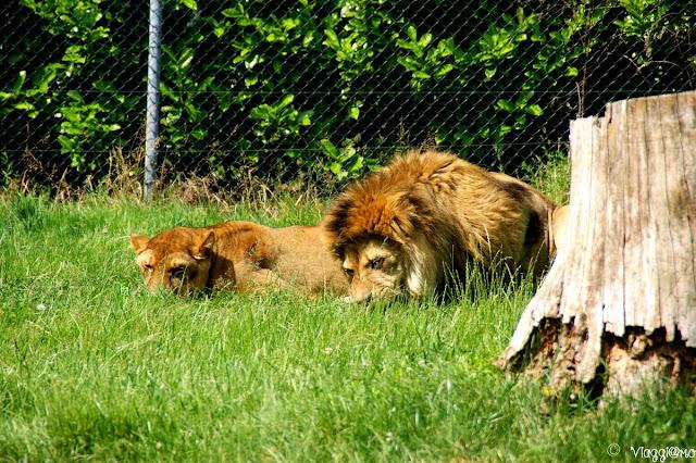 Leoni ospiti nello zoo safari park