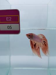 Pameran BETTA FISH Internasional, Bangkok-Thailand
