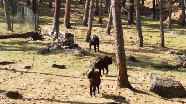 Takin Bhutan