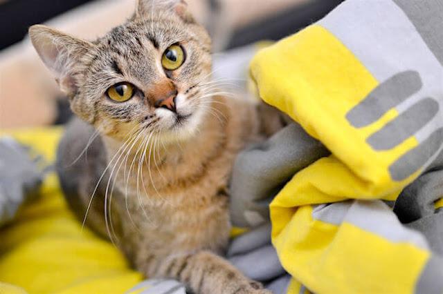Tabby Cat on a T-Shirt