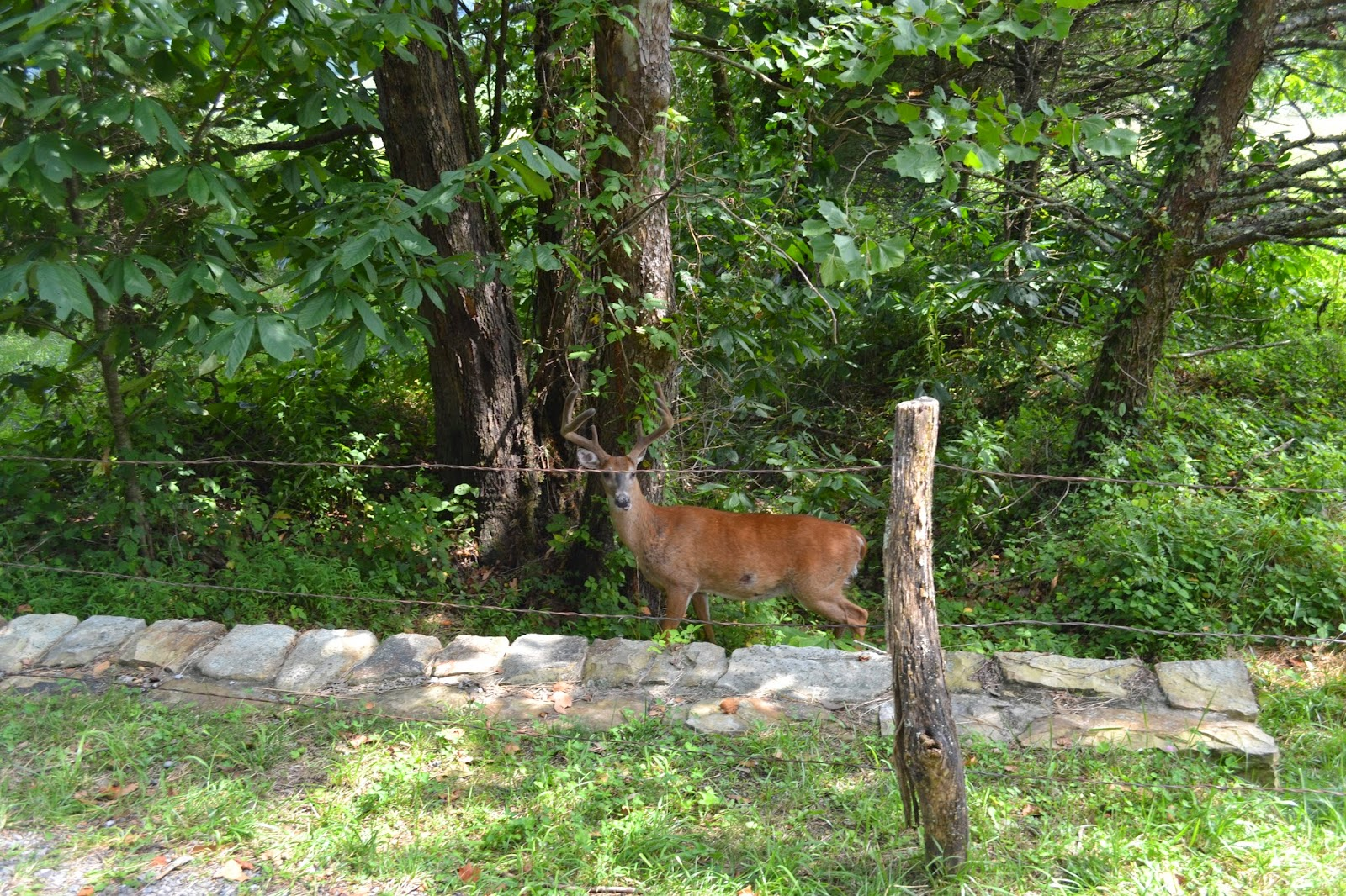Wild deer in Cades Cove