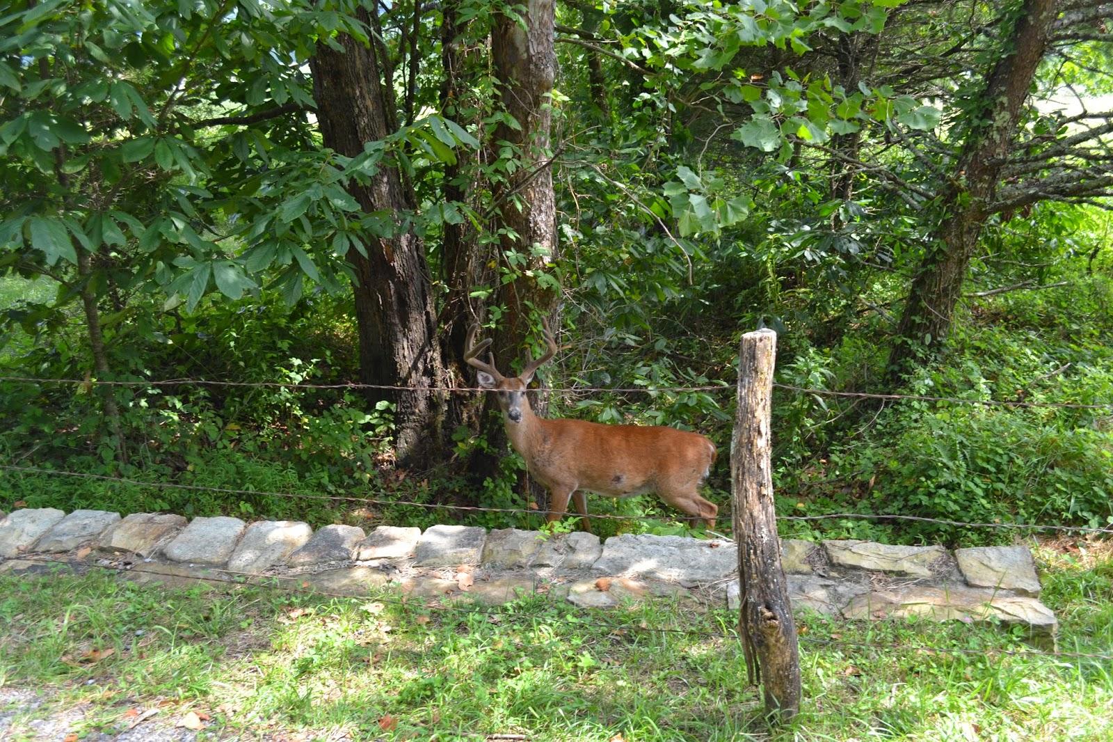 Wild deer in Cades Cove