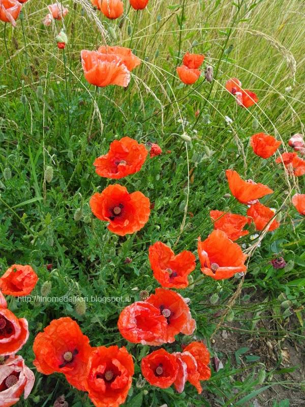 In nome dei fiori rossi - Fiori a campanella rossi ...