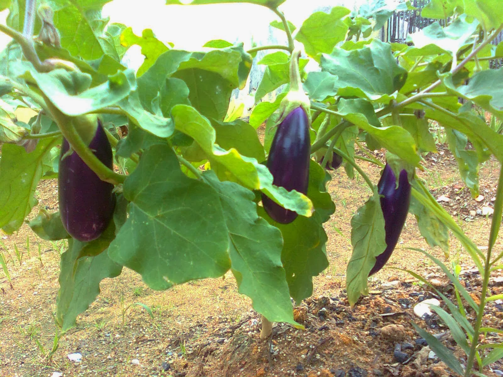 It's certainly for you is not a taboo anymore not the benefit of purple eggplant for health
