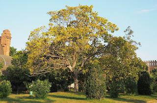 Magnolia grandiflora - Parc de la Ciutadella (Barcelona) per Teresa Grau Ros