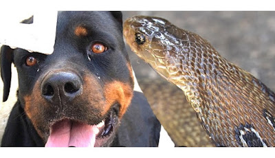 Anjing rotweiller digigit ular kobra
