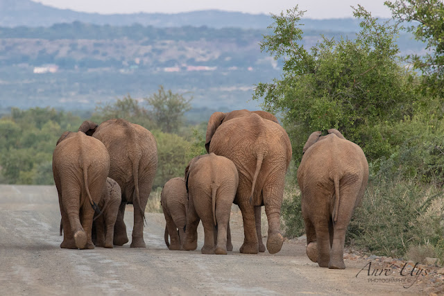 A Herd of Elephant on an early morning stroll, Black Rhino lodge, Pilanes