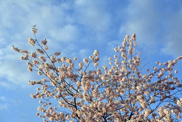 japansk kirsebærtre