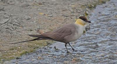 aves marinas argentinas Salteador coludo Stercorarius longicaudus