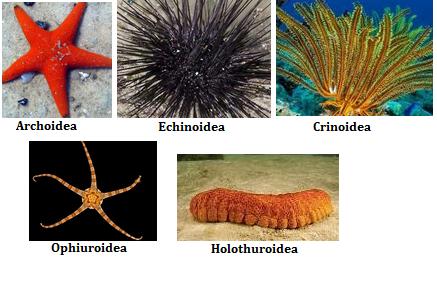 klasifikasi%2Bechinodermata - Jenis Jenis Teripang Dan Gambarnya