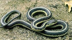 Loài rắn nào chúng ta không nên sợ và tại sao?