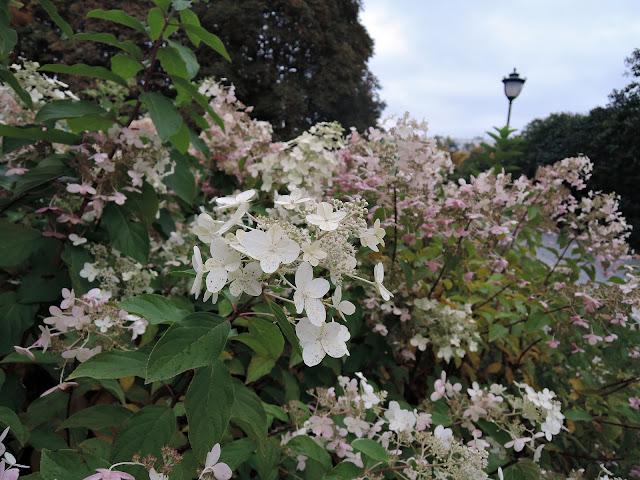 сиреневый сад гортензия