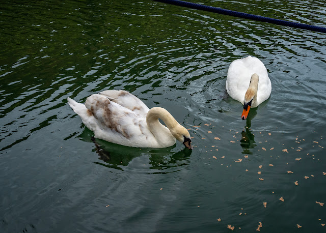 Photo of the swan and cygnet feeding by Ravensdale