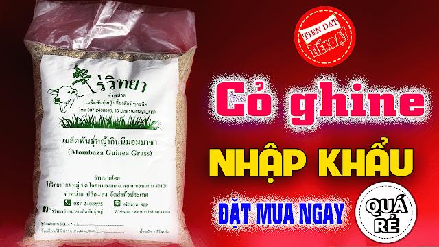Giới thiệu cỏ ghine mombasa nhập khẩu