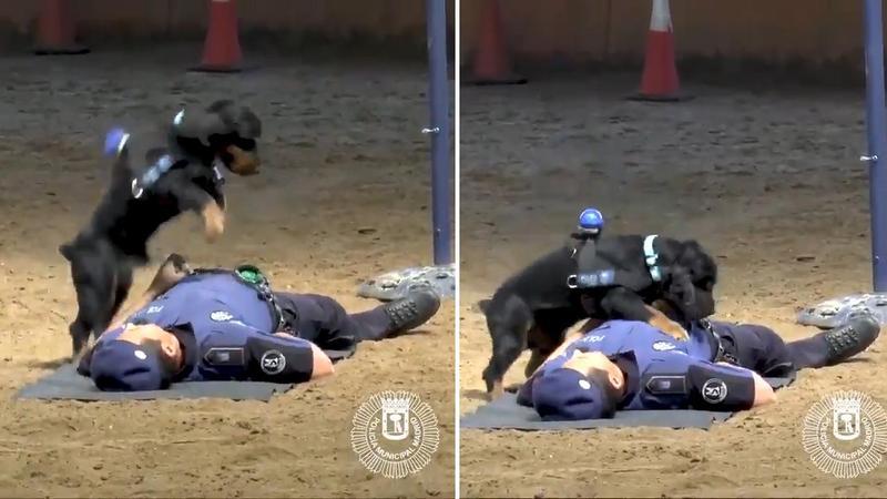 Μαδρίτη: Σκύλος της αστυνομίας δίνει τις πρώτες βοήθειες για να σώσει την ζωή αστυνομικού