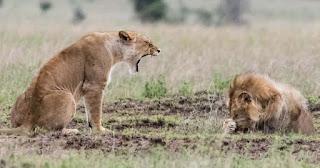 Λέαινα μαλώνει με λιοντάρι και αυτό κρύβεται πίσω από την πατούσα του
