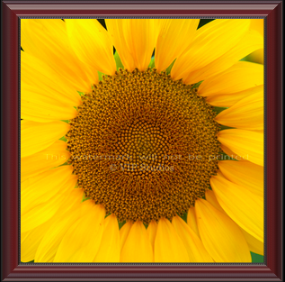 Golden Sunflower_6990