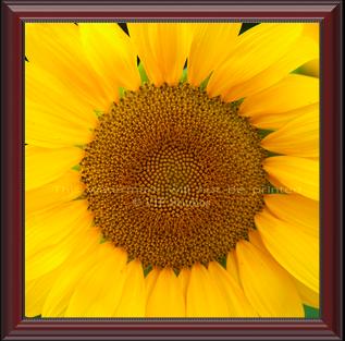 Golden Sunflower_6990