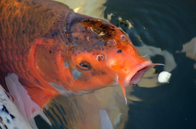 Cara Merawat Ikan Koi Paling Gampang