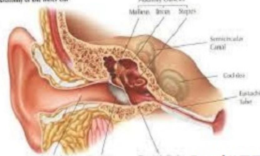 Penyakit Telinga, Hidung, dan Tenggorokan