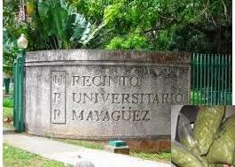 Marihuana en Zafacon del Recinto Universitario de Mayagüez