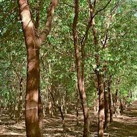 أشجار خشب الصندل