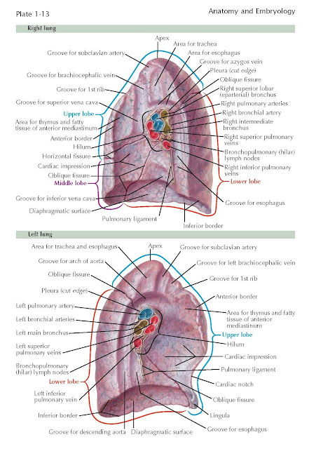 Medial Surface Of The Lungs