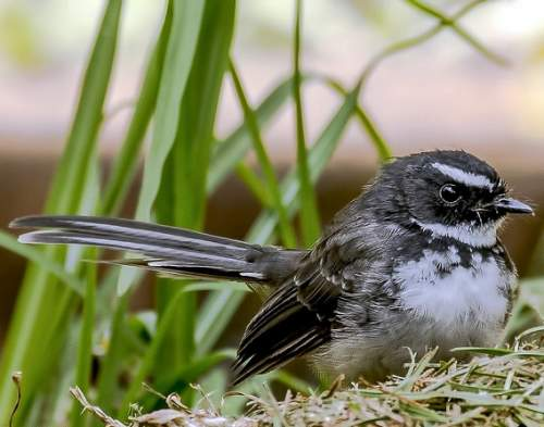 Indian birds - Photo of White-spotted fantail - Rhipidura albogularis