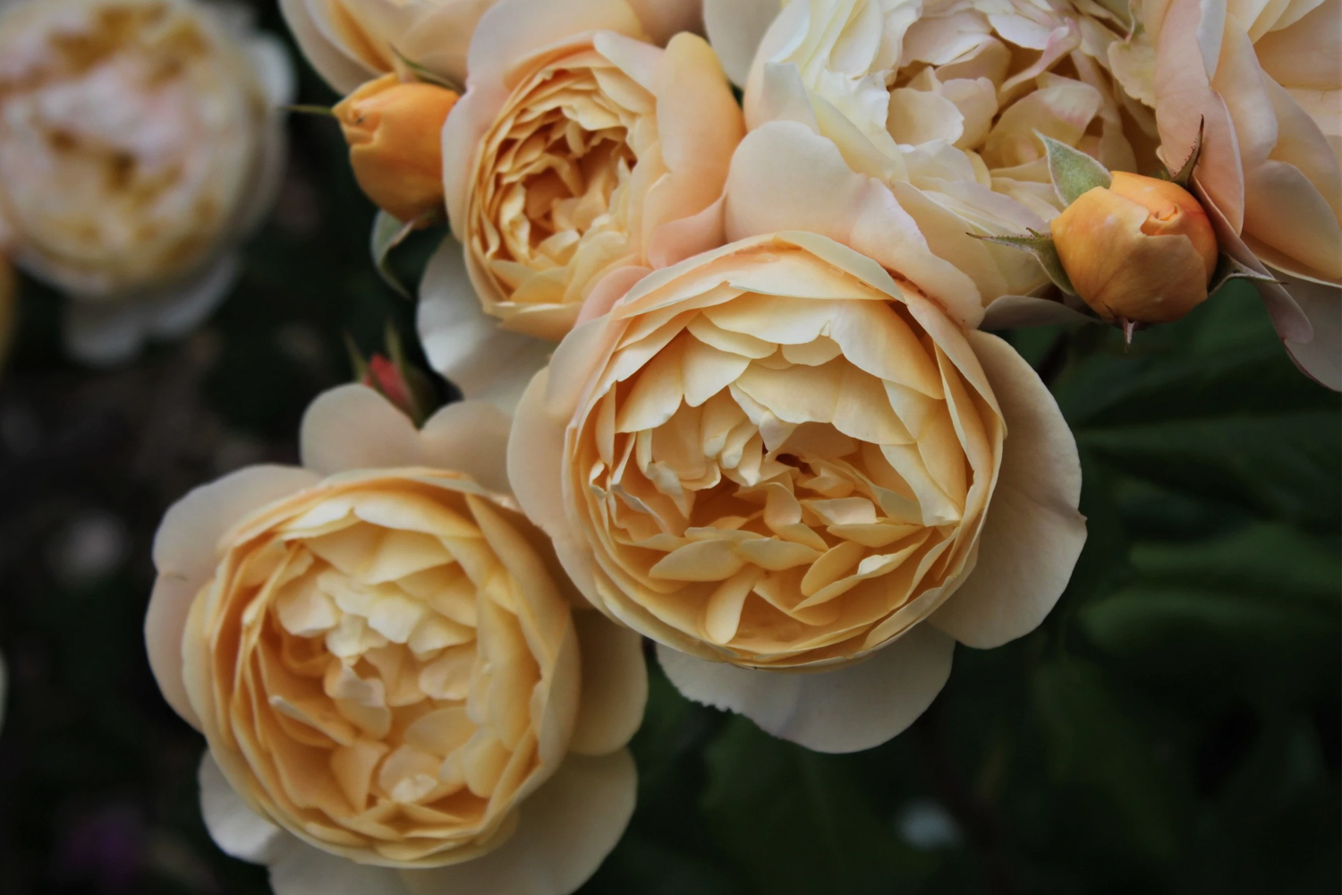 a close up photo of a rose flower