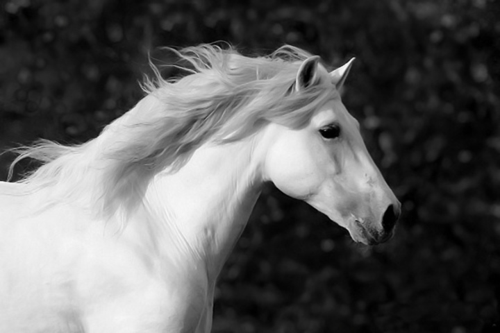 NOBILANGELO: PHOTO - BEAUTIFUL WHITE HORSE