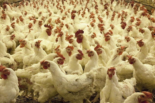 Poultry Industry Corona virus