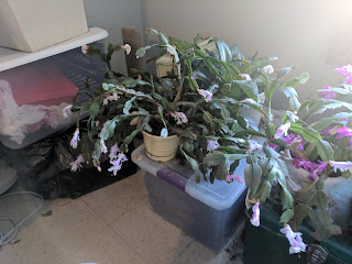 The White Christmas cactus