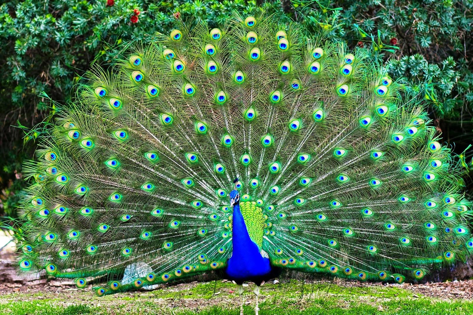 98+ Gambar Burung Merak Dari Biji Bijian Gratis