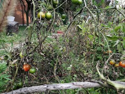 pomodori nell'orto biologico fin dopo halloween