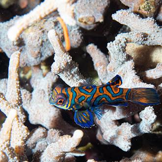 Underwater hot critters - Mandarin fish<br>水攝最愛主題 - 麒麟魚